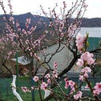 Персик в нашем саду :: Tata Wolf