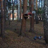 Голуби - лесные птицы. :: Михаил Полыгалов