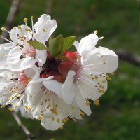 Красота весенняя... абрикосовая) :: Тамара Бедай