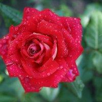 Роза :: Александр