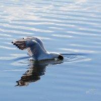 Чайка за ловлей рыбки :: Анатолий Клепешнёв