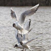 Чайки. :: Андрей