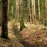 В весеннем лесу :: Ирина Румянцева