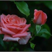 Розы :: Владимир Стаценко