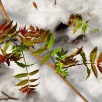 Листочки на снежном фоне :: Андрей Снегерёв