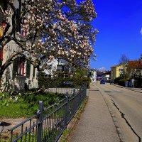 Весна-магнолии в цвету :: Вальтер Дюк