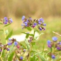 Сладко пахнет весна медуницей на полянах лесных и лугах... :: Анна Суханова
