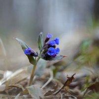 Сладко пахнет весна медуницей на полянах лесных и лугах.. :: Анна Суханова