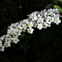 белые цветы :: Heinz Thorns