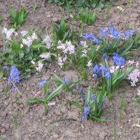 Первые весенние цветы :: Дмитрий Никитин