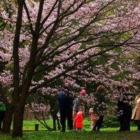 В Японском саду расцвела сакура !!! :: Николай Кондаков