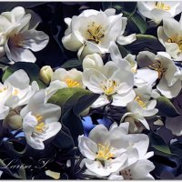 Яблоневый цвет. :: Лариса С.