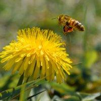 пчелка Майя :: Елена