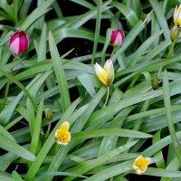 Карликовые тюльпаны :: Надежд@ Шавенкова
