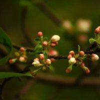Всего один лишь только раз цветут сады в душе у нас... :: Анна Суханова