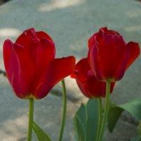 Алые тюльпаны :: Валентин Семчишин
