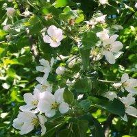 Яблони в цвету :: Фотогруппа Весна-Вера,Саша,Натан