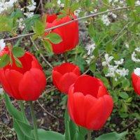 Расцветали вишни и тюльпаны :: Gen Vel
