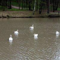 Лебединая весна! :: Люба