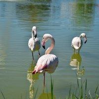 Чудо природы - фламинго... :: Тамара Бедай