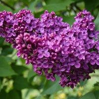 В цвету душистая Сирень... :: Galina Dzubina
