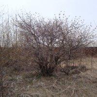 Весна.Дерево бузины. :: Владислав Савченко