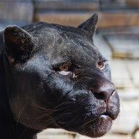 Черный ягуар ( пантера ) :: Владимир Габов