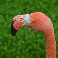 Портрет фламинго :: Юрий Гилёв