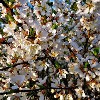 Вишня войлочная в цвету :: Ольга Митрофанова