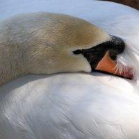 Грустный лебедь... :: Любовь С.