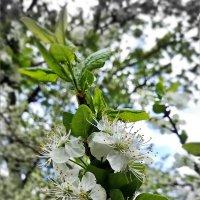 Вот и вишни зацвели :: veera (veerra)