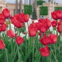 Тюльпаны ВДНХ :: Ivan Dem