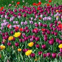 Тюльпановые поляны Елагина острова :: Ирина Румянцева