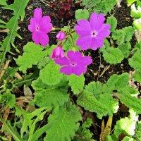 Садовые цветочки :: Лариса