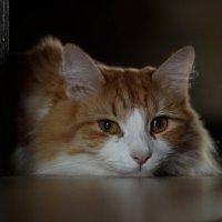 Домашний кот в печали :: Наталья Преснякова