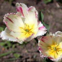 Пока цветут тюльпаны... :: Любовь С.
