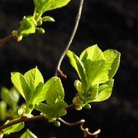 Листочки яблони :: Юлия Денискина