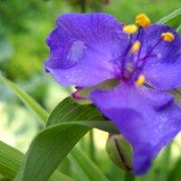 Цветок :: Victoria