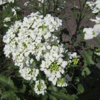 Лето... и даже хрен цветёт... :: Galaelina ***