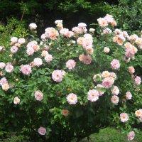 Розы :: Victoria
