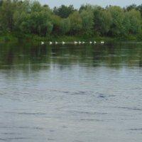Лебеди на реке Десна :: Александр Скамо