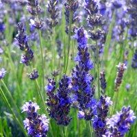 ....наших встреч с тобой синие цветы... :: Гала