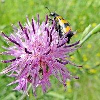 Пчеложук на васильке луговом :: Raduzka (Надежда Веркина)