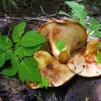 На вид грибочки неплохи, но не берём мы свинухи! :-) :: Андрей Заломленков