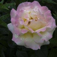 Роза и  капли  дождя :: Валентин Семчишин