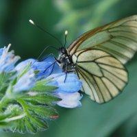 Бабочка. :: сергей