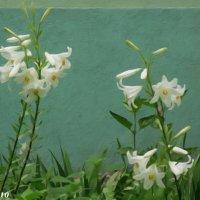Белые лилии :: Нина Бутко