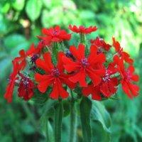 Лихнис цветёт :: sm-lydmila Смородинская