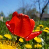 Тюльпан, просто тюльпан. :: Варвара Высоцкая
