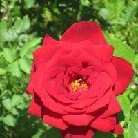 Алая роза :: Дмитрий Никитин